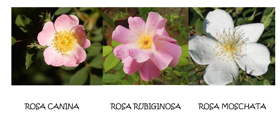 Tipos de rosa mosqueta: rosa canina, rosa rubiginosa y rosa moschata